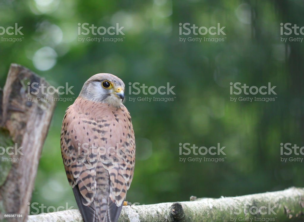 A small falcon sitting on the bough of the tree stock photo