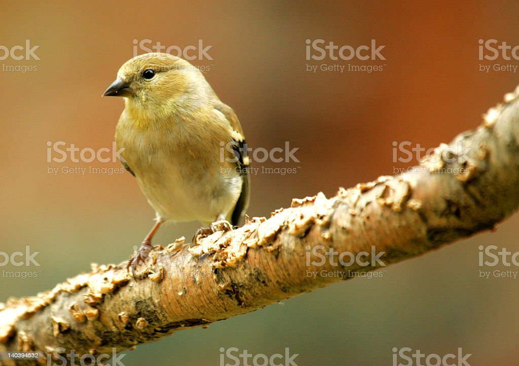 Small Finch stock photo