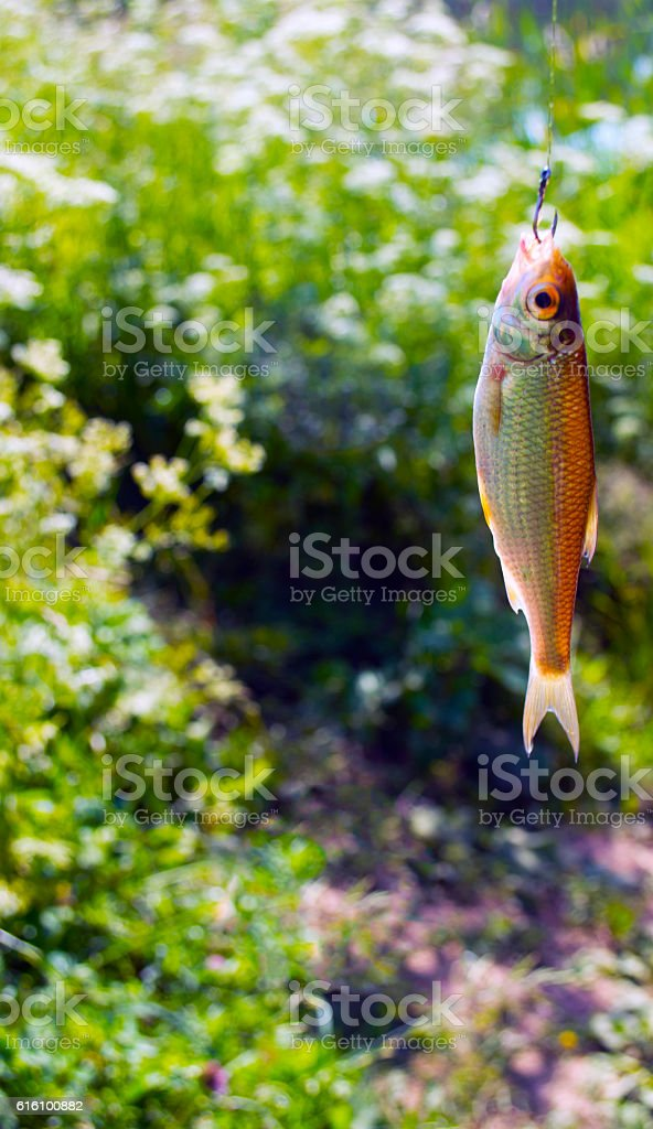 small fish caught on a hook stock photo