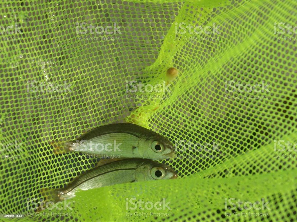 Small fish stock photo