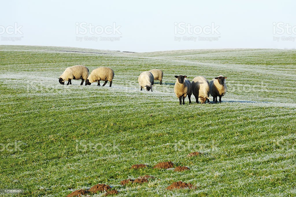 Small flock of sheep in a field with frosted grass stock photo