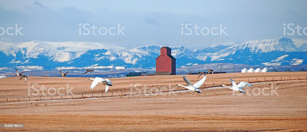 Small flock of Tundra Swans leaving a stubble field-  fall stock photo