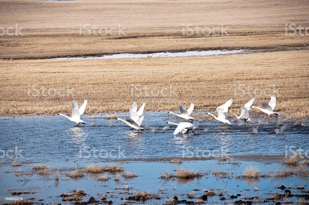 Small Flock of Tundra Swans stock photo