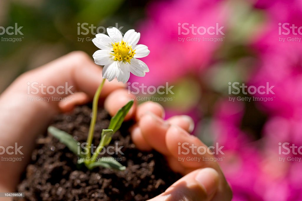 Small flower growing in soil inside child's cupped hands stock photo