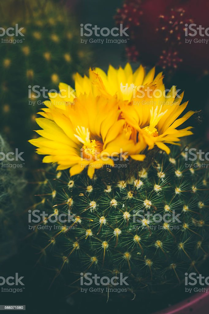 Small Flowering Cactus stock photo