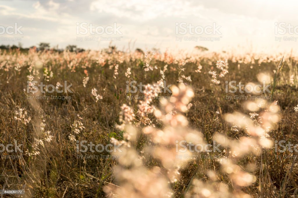 Small flowers in the field at sunset stock photo