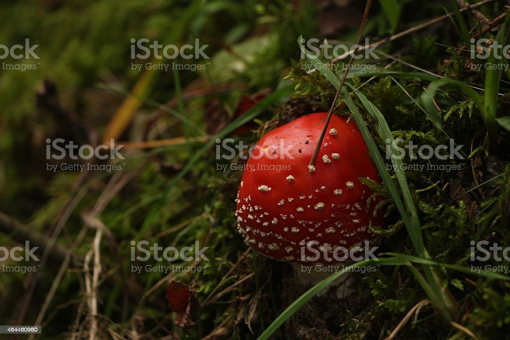 Small Fly Agaric Mushroom Hidden in Grass royalty-free stock photo