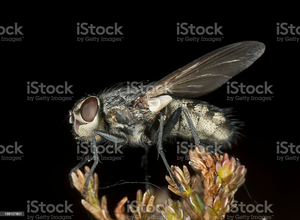Small fly, extreme close-up with high magnification royalty-free stock photo