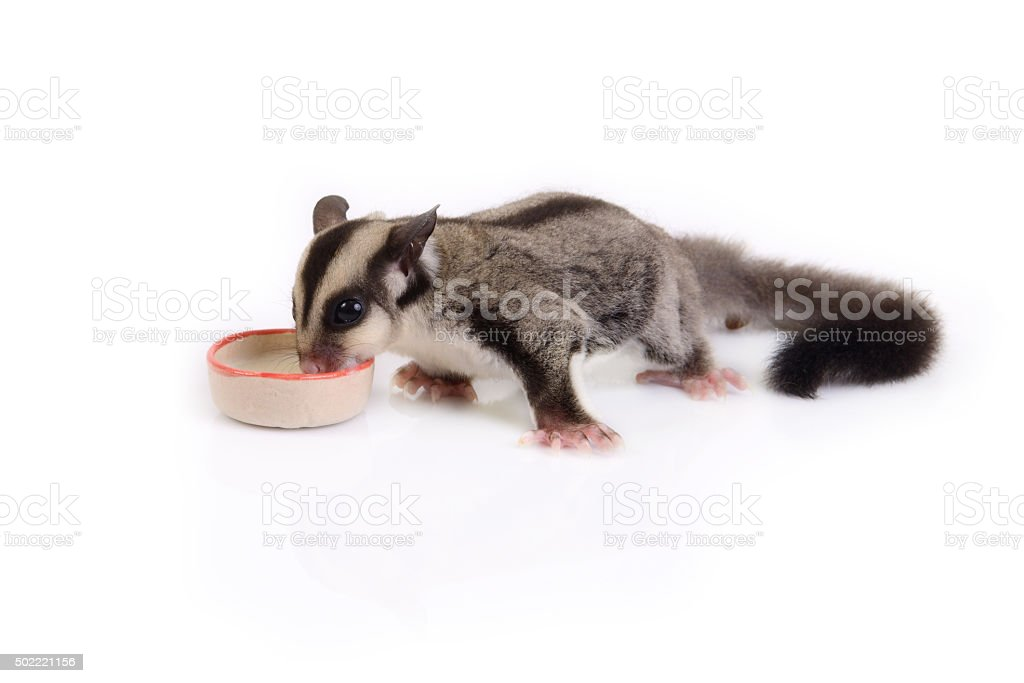 Small flying squirrel eating. stock photo