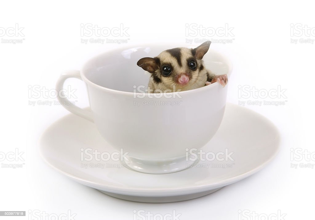 Small flying squirrel in white ceramic cup. stock photo