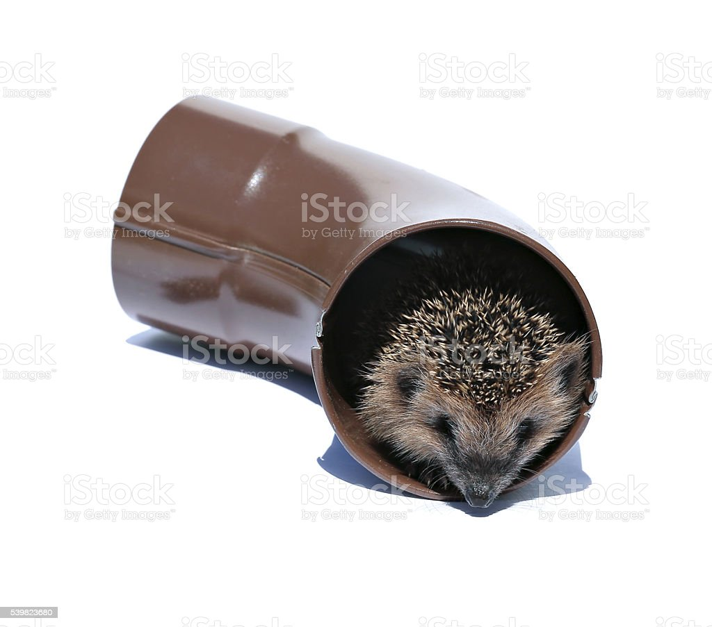 Small forest hedgehog, gets out of the drainpipe stock photo
