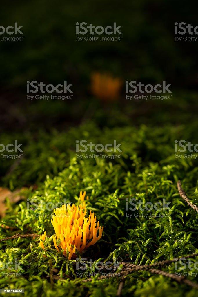 Small fresh ramaria mushroom in green moss stock photo