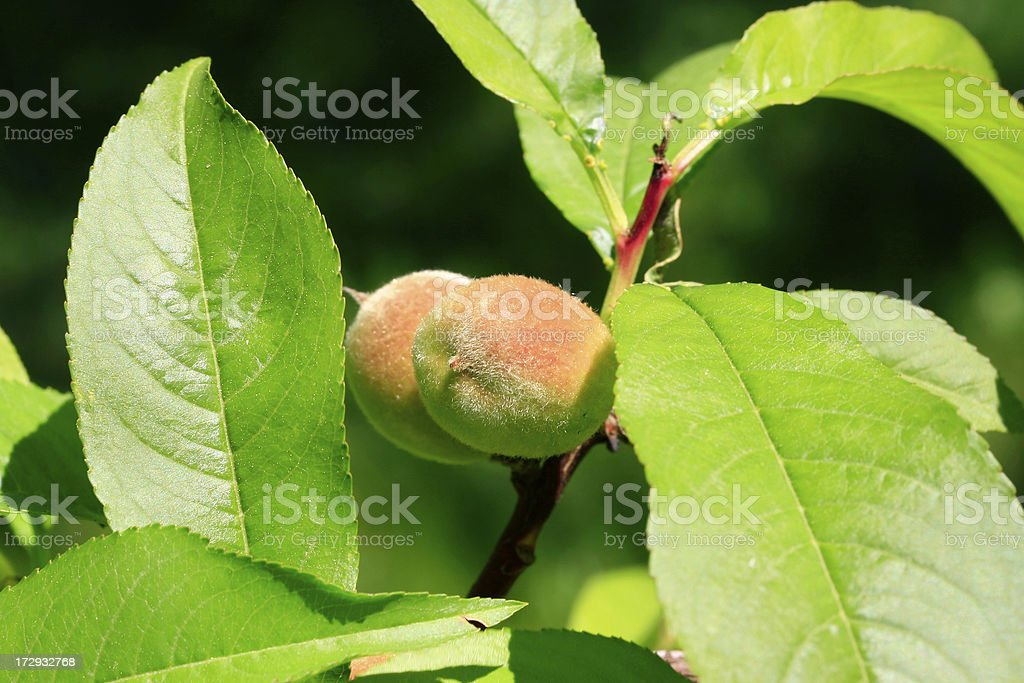 Small fruit on a peachtree stock photo