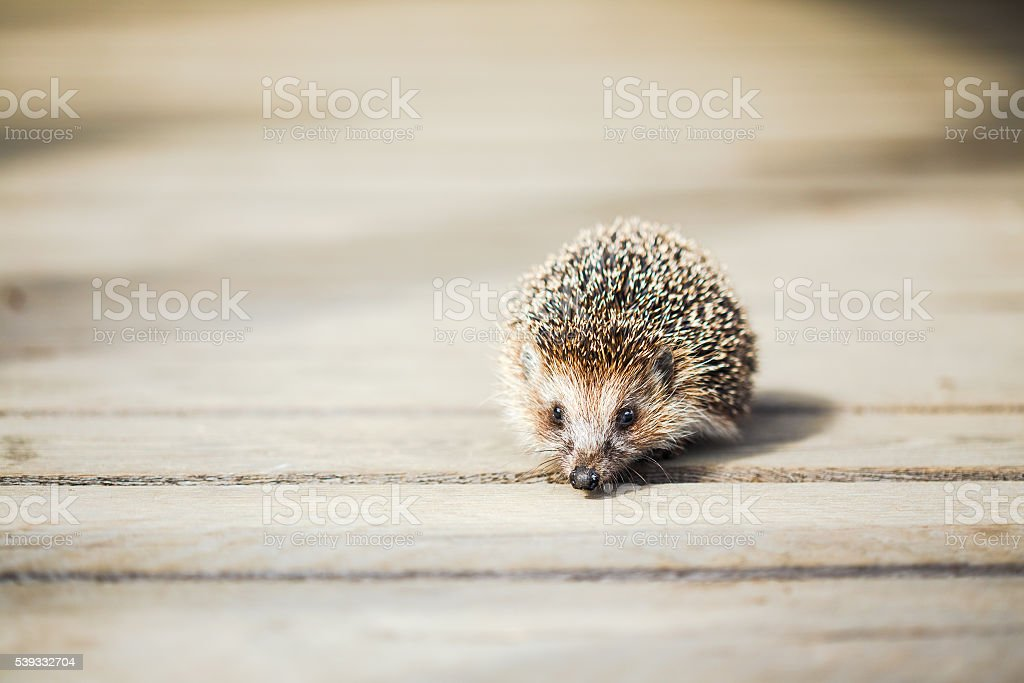 Small Funny Lovely Hedgehog Standing On Wooden Floor stock photo