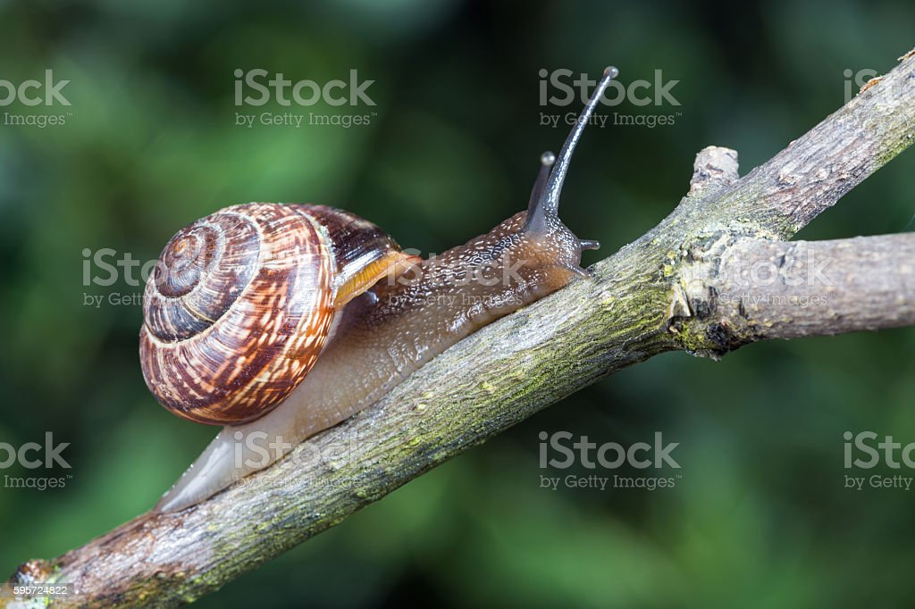 Small garden snail stock photo