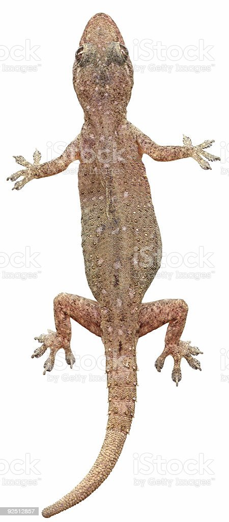 Small Gecko Lizard (Isolated) royalty-free stock photo