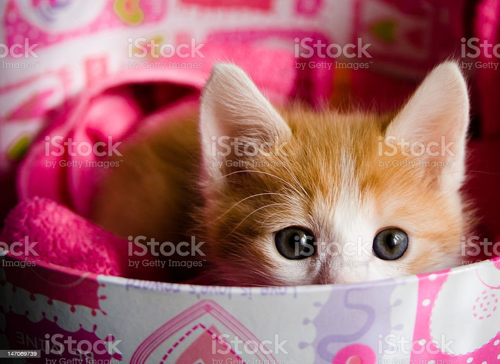 Small ginger kitten hiding in a colorful round box royalty-free stock photo