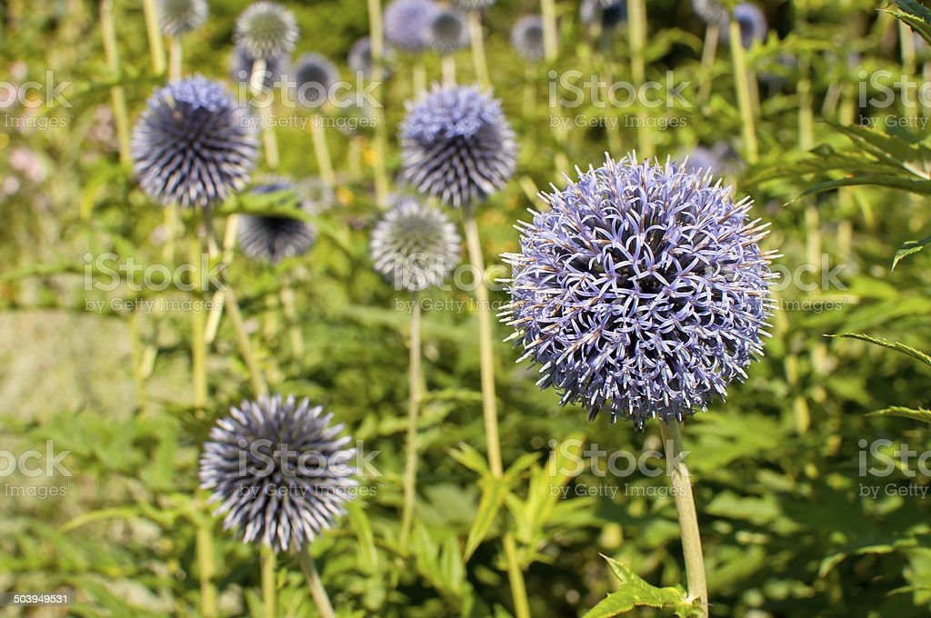 small globe thistle stock photo