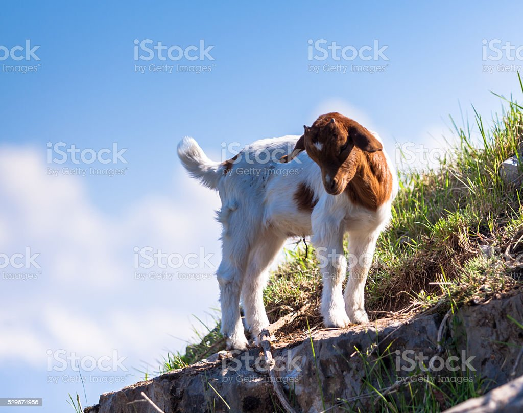 Small Goat stock photo