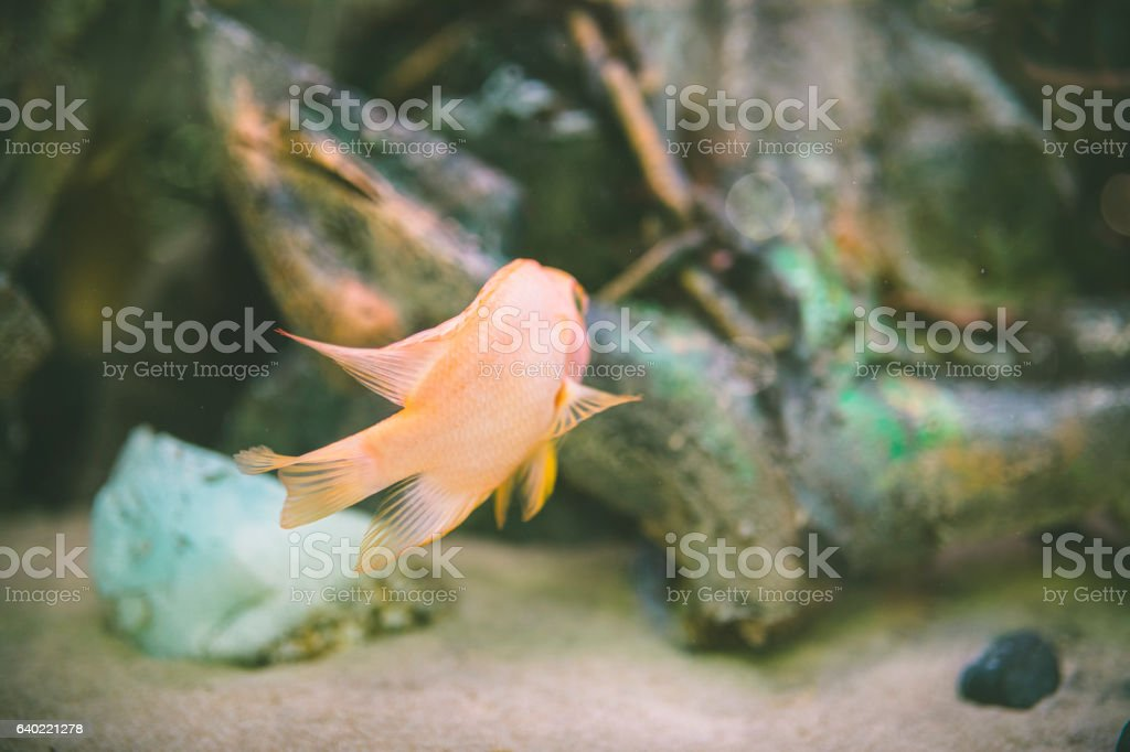 small gold fish in  aquarium stock photo