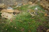 Small Goldcrest bird on Ramsey Island.