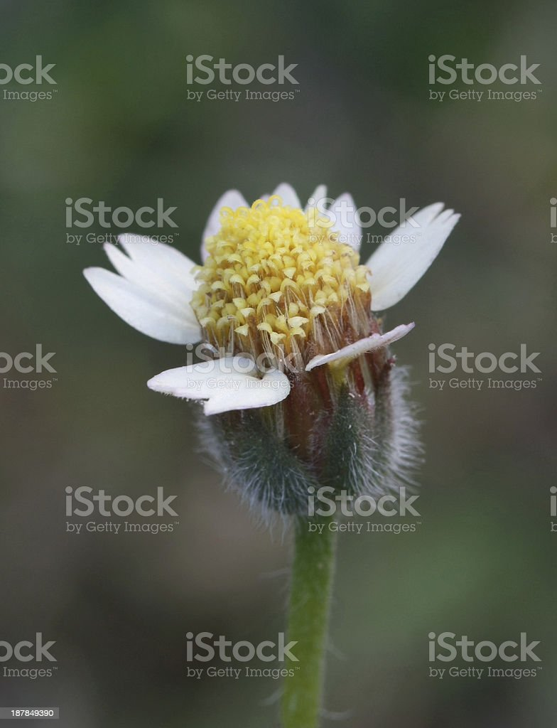 small grass flower royalty-free stock photo
