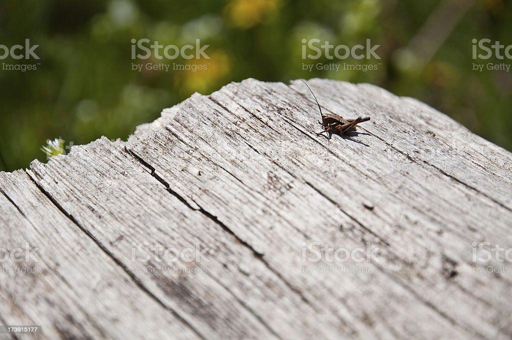 Small grasshopper. royalty-free stock photo