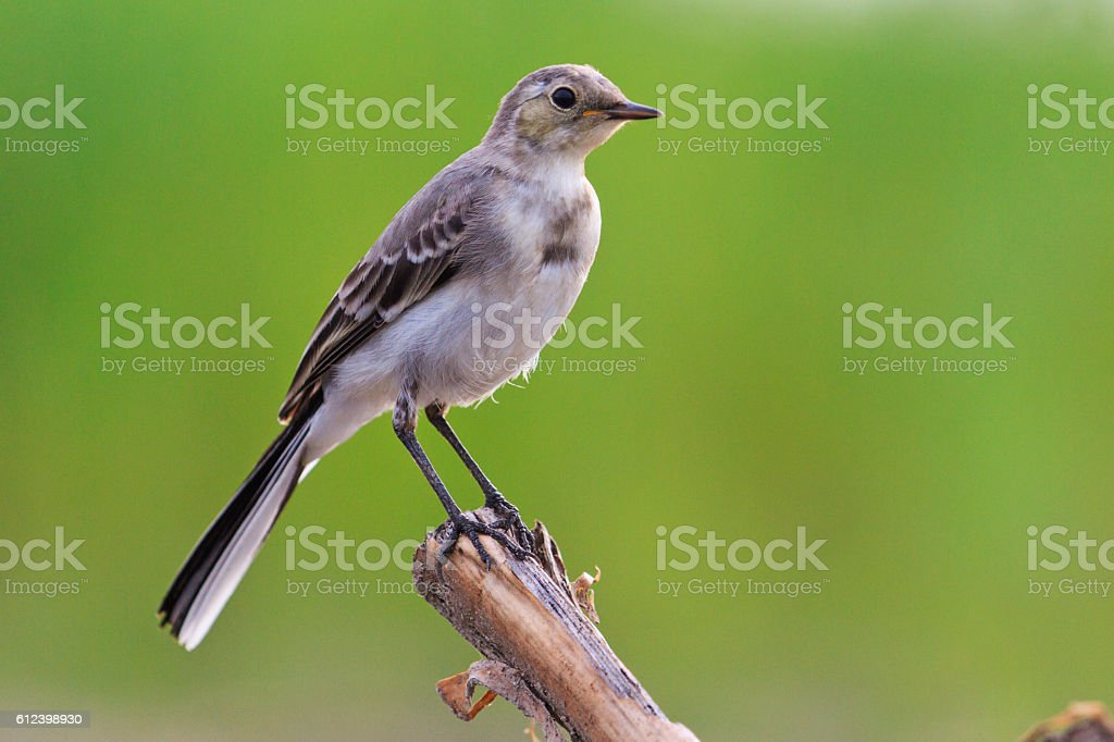 small gray bird with a green background stock photo