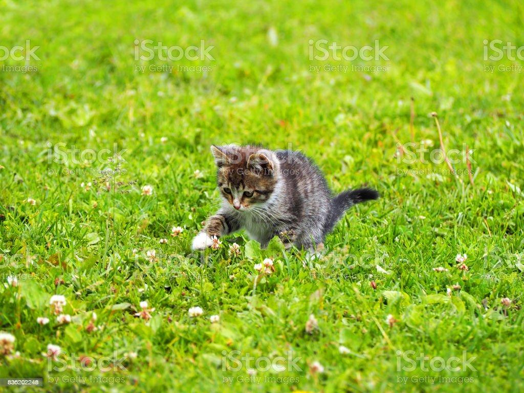 Small gray kitten stock photo