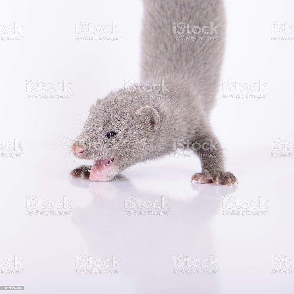 small gray mink royalty-free stock photo