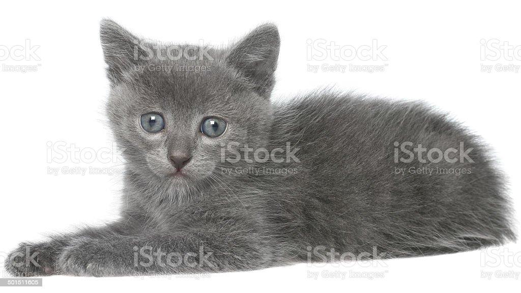 Small gray shorthair kitten sitting isolated stock photo