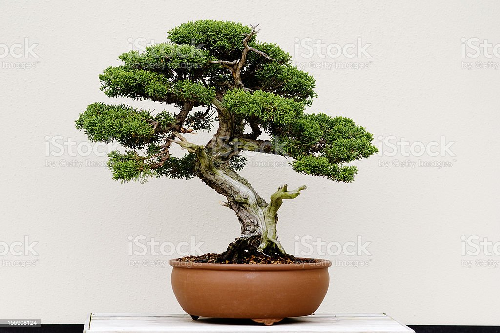 Small green bonsai tree in a brown plant pot stock photo