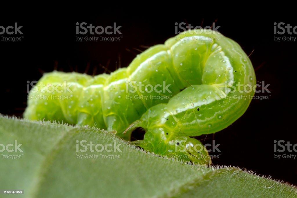 Small green caterpillar macro stock photo