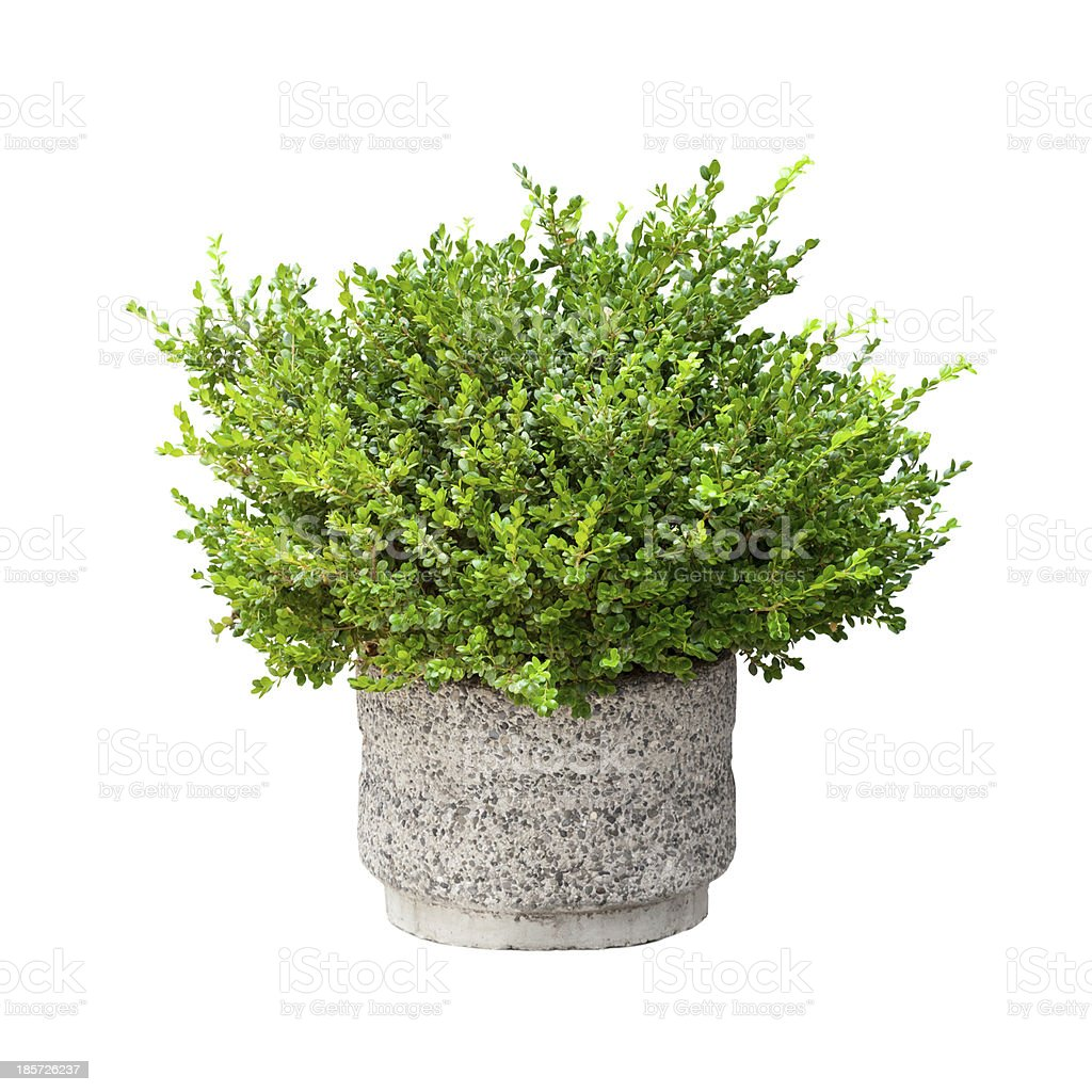 Small green decorative bush growing in pod isolated on white stock photo