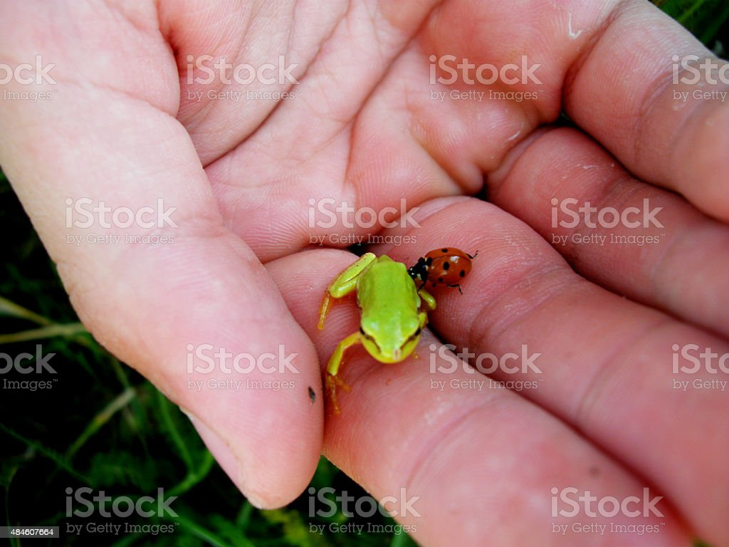 small green frog  and  red  beetle  on the palm stock photo