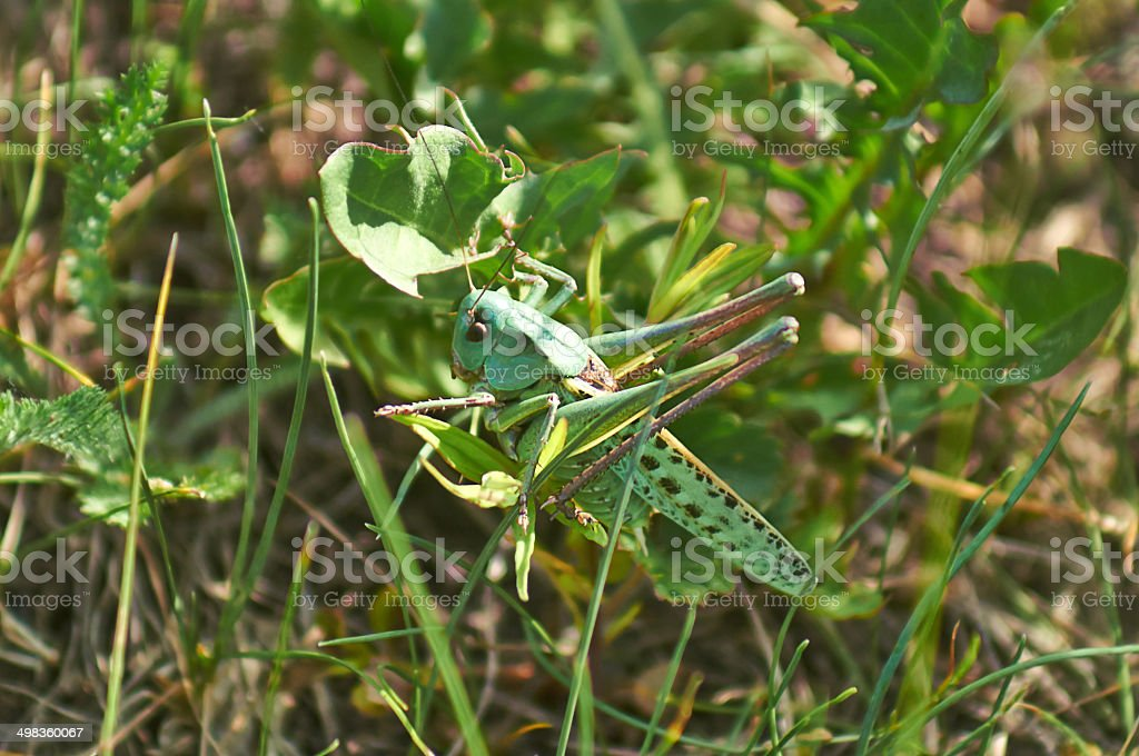 Small green grasshopper on leaf  grass. royalty-free stock photo