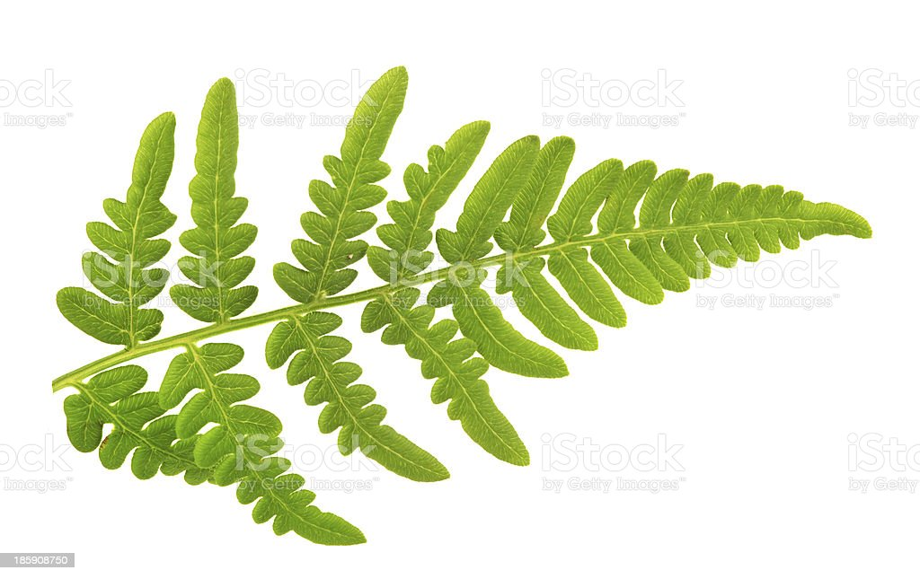 small green isolated fern branch stock photo