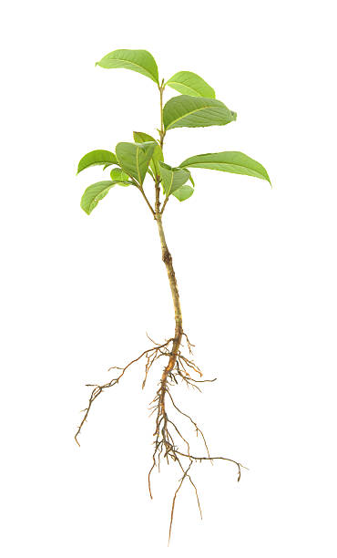 Plant Roots Pictures, Images and Stock Photos - iStock
