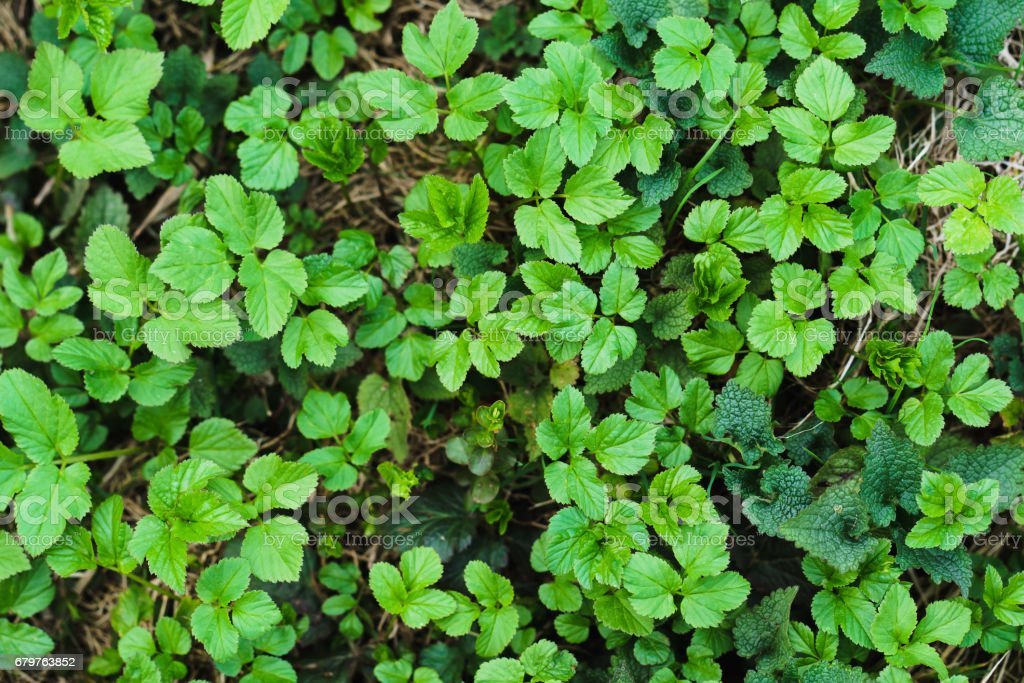 Small green leaves of grass texture in forest stock photo