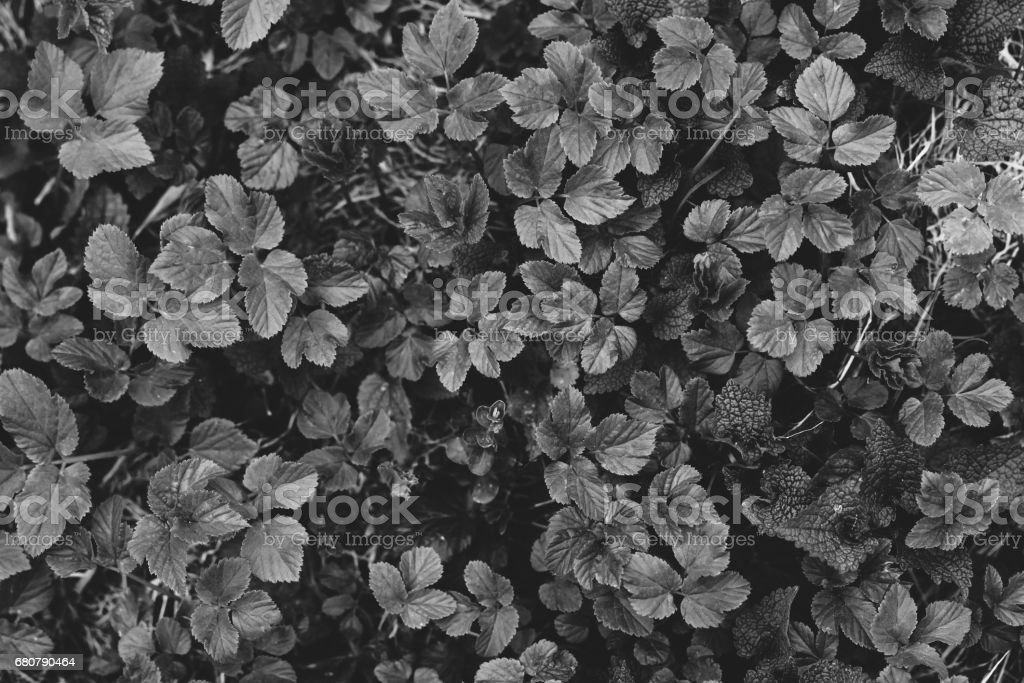 Small green leaves of grass texture in forest. white and black stock photo