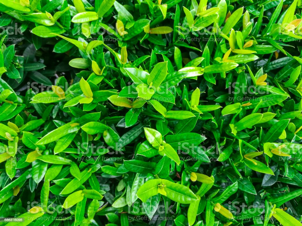Small green leaves of tree texture stock photo