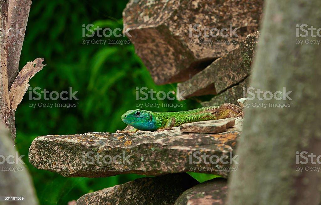 small green lizard royalty-free stock photo