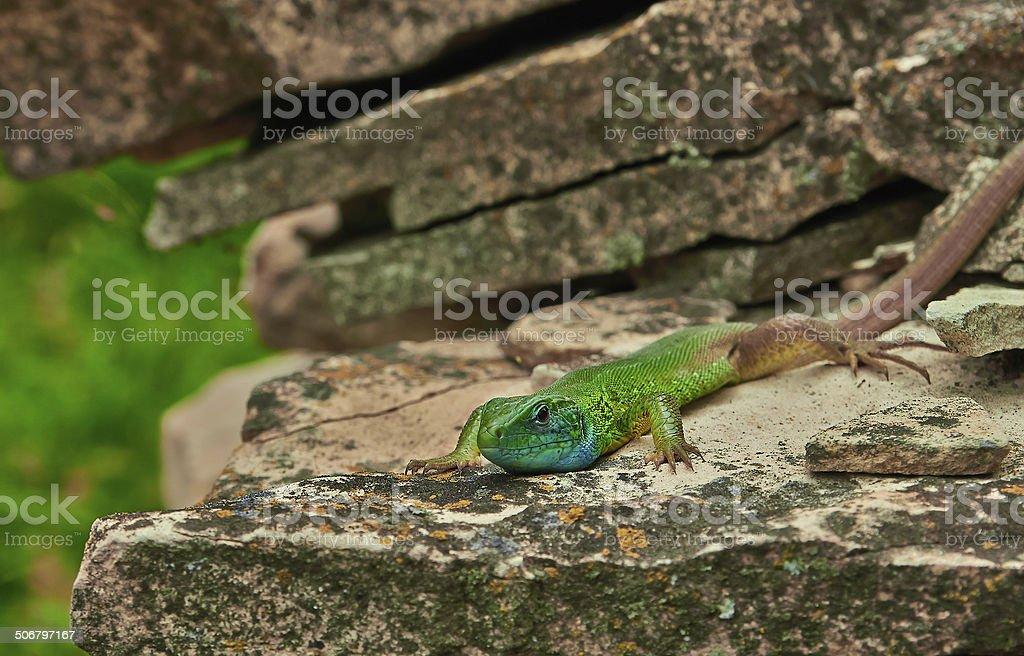 small green lizard royalty-free stock photo