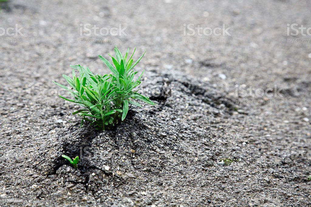 Small green plant growing through asphalt royalty-free stock photo