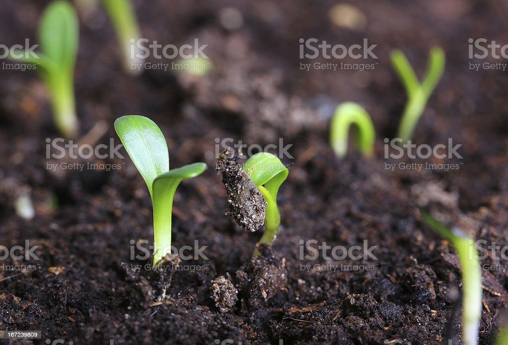 small green seedling royalty-free stock photo