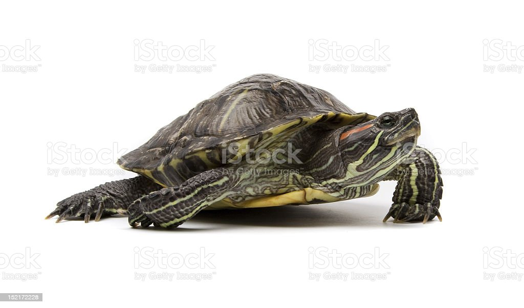 Small green turtle on white background stock photo