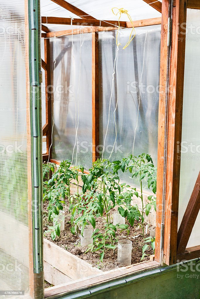 small greenhouse with tomato bushes stock photo