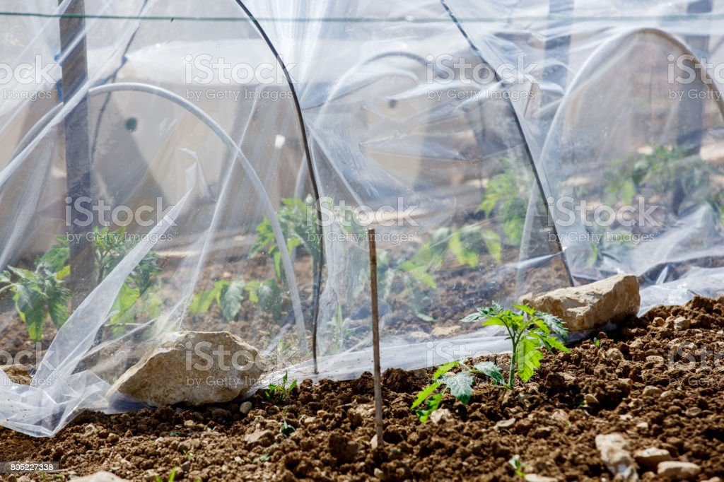 small greenhouse with tomato grows on the inside stock photo