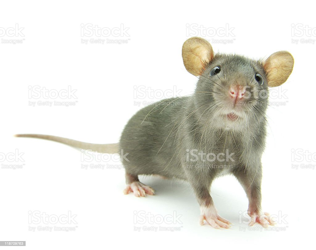 Small grey rat with long whiskers and round ears royalty-free stock photo