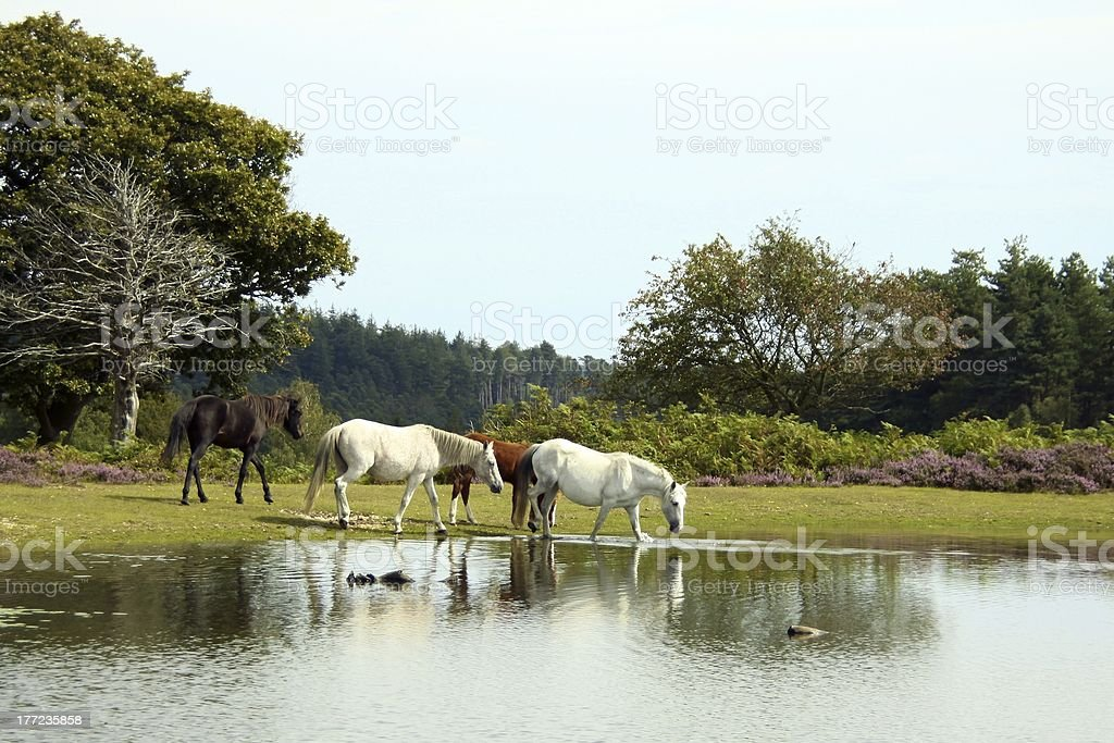 small group of horses at forest pond stock photo